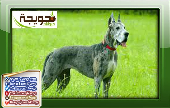 كلب الجريت دان Great Dane او الدنواه